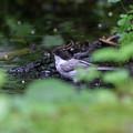 写真: 水辺のハシブトガラ