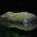 水辺のヨツボシヒラタシデムシ