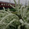 ユキヤナギと鮮魚列車