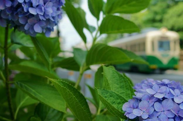 Photos: 紫陽花と阪堺電車