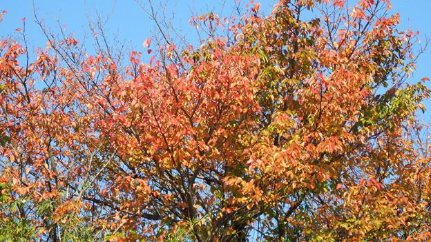 オオシマザクラの紅葉