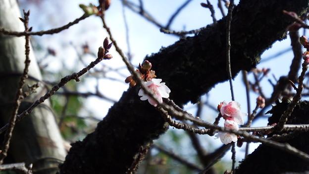 元日桜 1