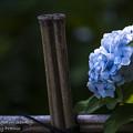 2017 千光寺の紫陽花8
