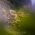 2017 千光寺の紫陽花10