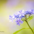 吉野ヶ里公園の紫陽花1