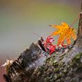 2017 河内藤園の紅葉1