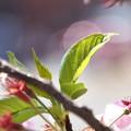 葉桜のかがやき