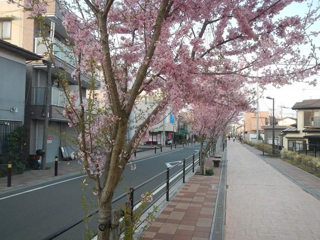 折角植えなおした桜も早晩車道を侵すことは必定