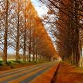 写真: マキノ・メタセコイア並木(2)