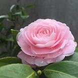 秋桜 マーリン
