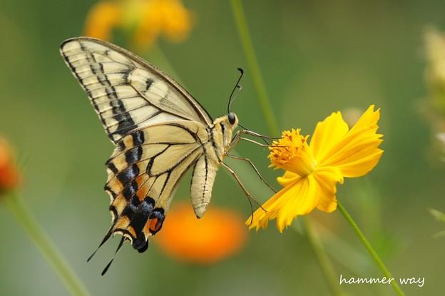 盛夏のキアゲハ