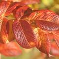 Photos: ハマナスの紅葉var