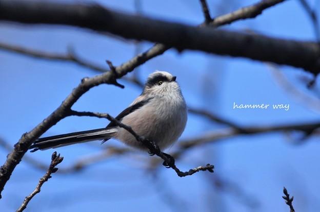 写真: 冬のエナガ
