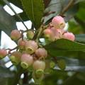 イチゴノキ 花 ツツジ科 1117 852