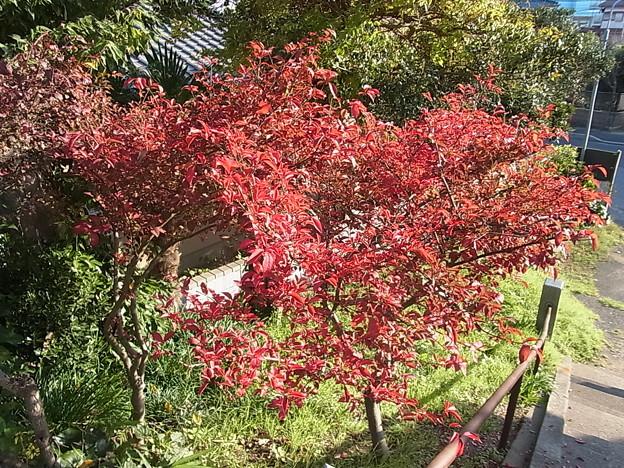 ニシキギ 紅葉 ニシキギ科 1123 929