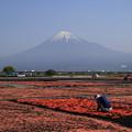 富士山 富士川河川敷 160426 01