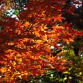 Photos: 裏山の・・「紅葉」です・・