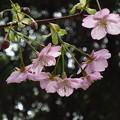 写真: 「河津桜」・・・・・
