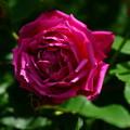 写真: 葡萄紅プタオホン