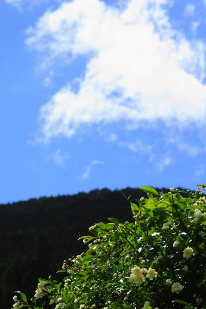 写真: 白モッコウ薔薇