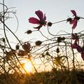 写真: 朝日とコスモス