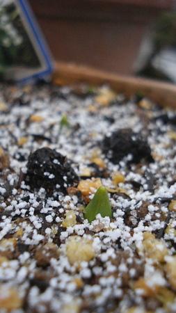 シラーの芽にも…3回目の雪