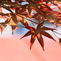 写真: 槭影