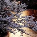 写真: 夕日の恩田川の桜