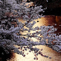 夕日の恩田川の桜