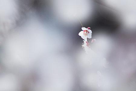 白梅の中で