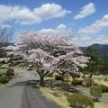 足利カントリークラブ多幸コースハウス前の桜2017.4.13