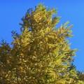 寒波と黄葉。