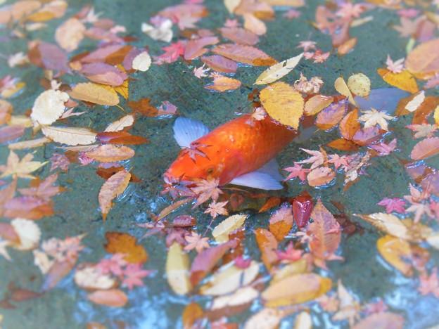 崑崗(こんこう)池のオレンジ・カープ
