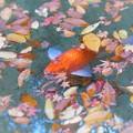 Photos: 崑崗(こんこう)池のオレンジ・カープ