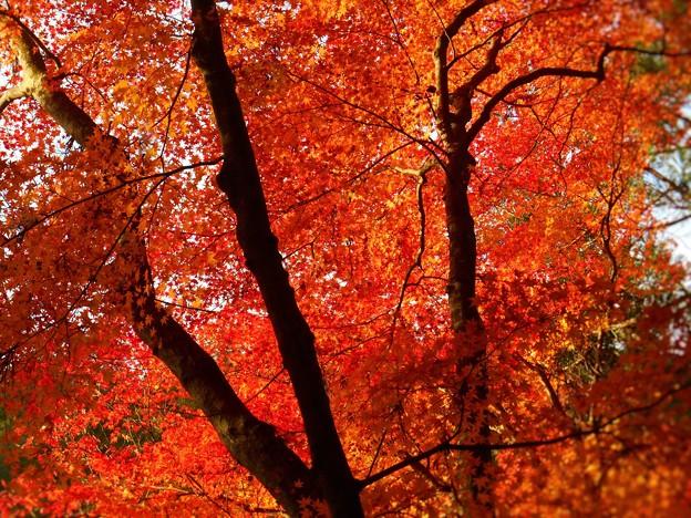 写真: 烈しく燃える秋