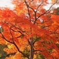 Photos: 古刹巨樹の紅葉