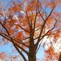 写真: 大樹の紅葉1