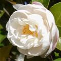 写真: 小春日和のサザンカの花