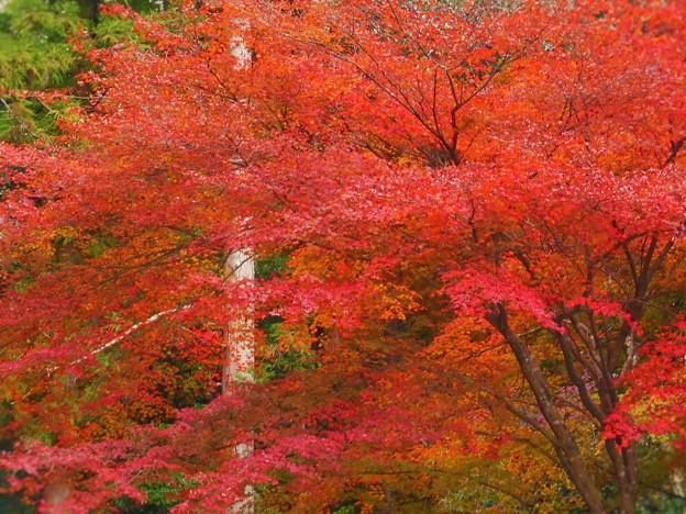 備後路の杉木立と紅葉