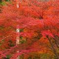写真: 備後路の杉木立と紅葉