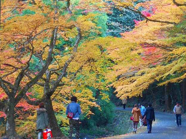 写真: 備後路 紅葉の並木道