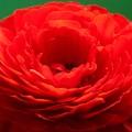 写真: とても魅力的・光輝を放つ・晴れやかな魅力~ラナンキュラスの花言葉~