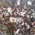 写真: 梅の香気に包まれて♪