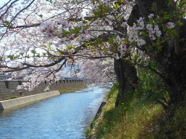 桜並木も散り初めて‥‥
