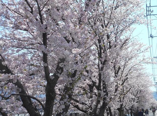 快晴の桜並木道