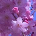 八重の紅枝垂れ桜@満開