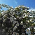 Photos: ナニワイバラが満開@五月の青空