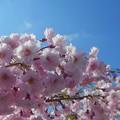 八重の紅枝垂れ桜@青空