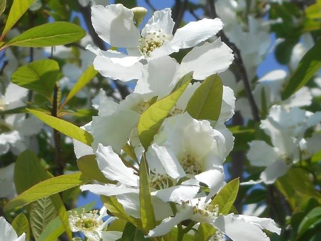 白い花が満開@ズミ(酢実)