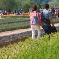 写真: 麦畑とムスカリ畑とチューリップ畑@世羅高原